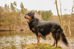 Dog Portrait. A dog is standing in the water and looking attentively Royalty Free Stock Images