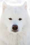 Dog portrait. Stock image. Samoyed. Royalty Free Stock Photography