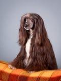 Dog. Portrait in the studio Stock Photo