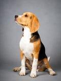Dog. Portrait of dog in studio Stock Photography