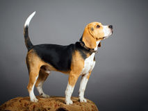 Dog. Portrait of dog in studio Royalty Free Stock Photography