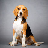 Dog. Portrait of dog in studio Stock Photos