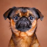Dog. Portrait of dog in studio Royalty Free Stock Image