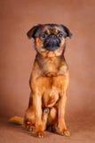 Dog. Portrait of dog in studio Stock Images