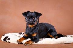 Dog. Portrait of dog in studio Stock Photo