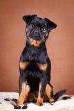 Dog. Portrait of dog in studio Royalty Free Stock Photo