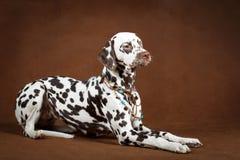 Dog. Portrait of dog in studio Royalty Free Stock Photos