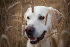 Yellow Labrador Retriever in a wheat field royalty free stock images