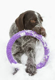 Dog portrait with toy ring. Drathaar dog portrait with toy ring in his mouth, close-up. winter Royalty Free Stock Photo