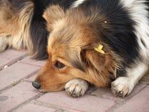 Dog portrait with uterine sterilization Royalty Free Stock Photo