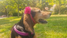 Dog portrait wearing a rigid band with flower. stock video footage