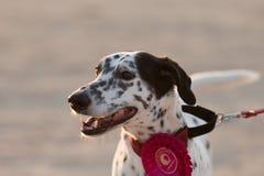 Dog Portraits Stock Photography