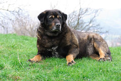 Dog pose. Watch Dog lying on grass Royalty Free Stock Photo