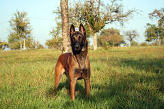 A dog poses in the fields. A malinois standing in the grass Royalty Free Stock Image