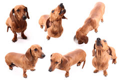 Dog poses Stock Photography