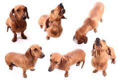 Dog poses Stock Photography
