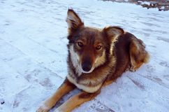 Dog poses in the snow Royalty Free Stock Photo