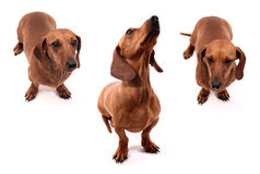 Dog poses Royalty Free Stock Photos