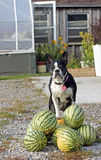 Dog poses on the watermelon Stock Photo