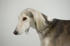 Dog posing. Elegant dog Persian greyhound breed saluki posing Royalty Free Stock Image