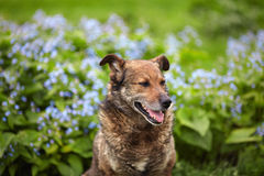 Dog posing on a background of blue flowers Royalty Free Stock Images