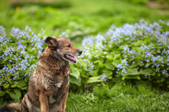 Dog posing on a background of blue flowers Stock Images