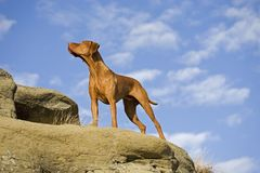Dog posing with blue sky and clouds background Royalty Free Stock Images