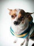 Dog posing. Chihuahua posing on white background stock image