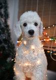 Dog posing with Christmas lights Stock Images