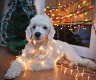 Dog posing with Christmas lights Stock Photo