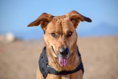 Brown dog posing with devil face in the beach stock image