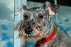 Dog posing in front of window. Miniature schnauzer dog posing indoors in the front window at home portrait stock photos