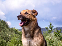 Shepherd dog portrait. Mixed race German shepherd dog posing for camera outdoors Stock Photography