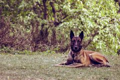 Dog is posing for picture in the yard, Serbia. The Alsatian dog is posing for the picture in the yard of the village house in Serbia. Photo is taken with Nikon royalty free stock images