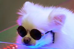 Dog posing on a stage with sunglasses royalty free stock photos