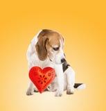 Dog in studio Stock Image