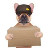 Dog postman. Postman french bulldog holding a shipping box , isolated on white background royalty free stock photo