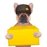 Dog postman. Postman french bulldog holding a yellow shipping box , isolated on white background stock image