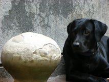 Dog Pot. A black labrador with a vintage water pot Stock Image