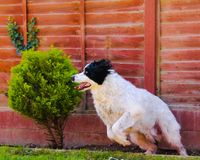 Dog pouncing into motion Stock Photos