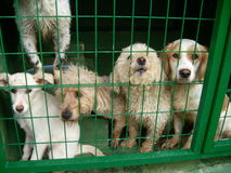 Dog Pound. Group of stray dogs in the dog pound. Green wire cages. Kennel. Poodle, Spaniel, white dogs Stock Images