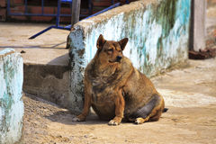 Dog pregnant.Thick dog. Thick and pregnant street dog breed stock image