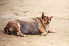 Dog pregnant.Thick dog. Thick and pregnant street dog breed royalty free stock photography
