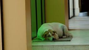 Dog prepare to sleep stock video footage