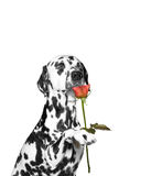 Dog present a rose and sniffs it. Dog present a rose to somebody and sniffs it royalty free stock image