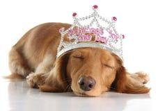Dog princess. Tired dachshund wearing a princess crown Stock Image