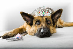 Dog Princess Fairy. Funny dog princess fairy wearing crown royalty free stock photography