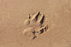A dog print in the sand. By the sea Royalty Free Stock Photography