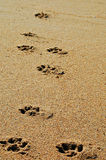 Dog Prints. In the sand Royalty Free Stock Photos