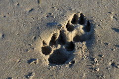 Dog Prints in the Sand Royalty Free Stock Photos